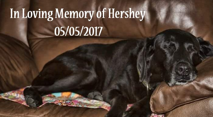In Memory of Hershey Senior Dog